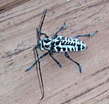 Cottonwood Borer