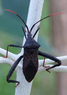 It Is A True Bug In The Family Coreidae Known As Leaf Footed Bugs Or Big Legged Bugs It Is In The Genus Acanthocephala