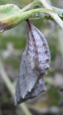 American Lady Caterpillars and Chrysalis - What's That Bug?