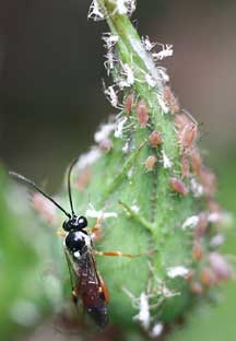 aphids and aphid wasp what 39 s that bug. Black Bedroom Furniture Sets. Home Design Ideas