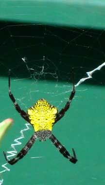 Spiders at Spiderzrule - the best site in the world about ... |San Diego Garden Spiders