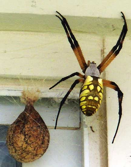 Yellow Garden Spider What 39 S That Bug