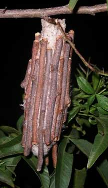 Bagworm from South Africa - What's That Bug?