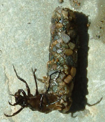 Caddisfly Larva What S That Bug