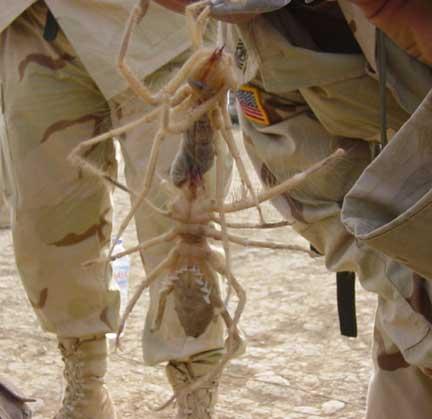 camel spider sandoval Giant Camel Spider?  Internet Hysteria
