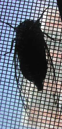 Silhouetted Cicada What S That Bug