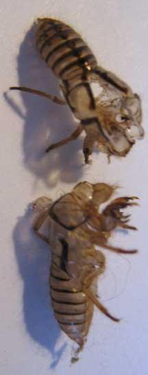 Cicada Exoskeletons What S That Bug