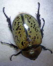This Is A Female Hercules Beetle Dynastes Yus Don T Believe Everything You Read On The Www Because Anyone Can Have Website