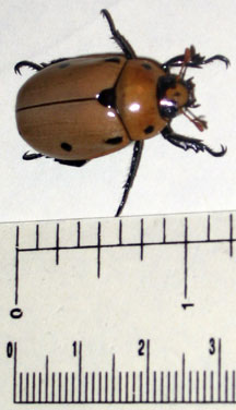 Grapevine Beetle What S That Bug