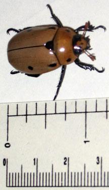 grapevine_beetle_casey.jpg
