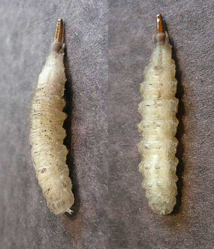 Horsefly Larvae being a Horse Fly Larva