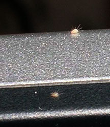 Computer Loving Mites What S That Bug