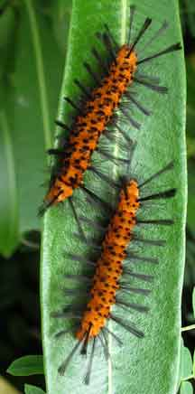 Black+and+orange+caterpillar+identification