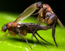 phorid fly and leaf cutter ant relationship help