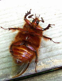 rain beetle pleocoma staff what s that bug