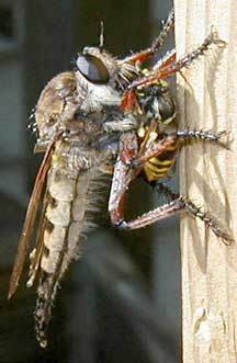 Giant Robber Fly Eats Yellow Jacket What S That Bug