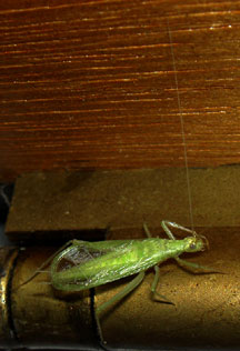 Snowy tree cricket what s that bug