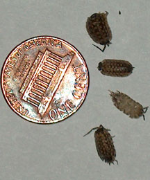 sow bugs what 39 s that bug