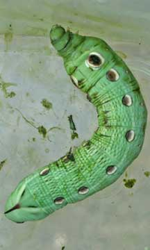 Tersa Sphinx Caterpillar Green Morph Whats That Bug