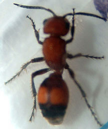 Velvet Ant - What's That Bug?