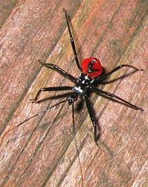 Velvet Ants  Entomology