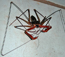 Tailless Whipscorpion from Mexico - What's That Bug?