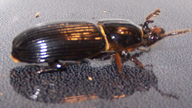 Bess Beetle or Horned Passalus - What's That Bug?