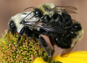 Bumble Bees Mating