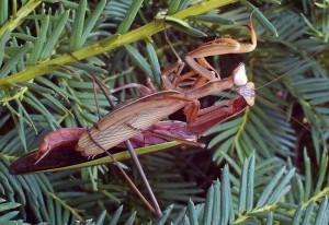 Mating Preying Mantids