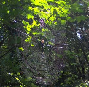 Orb Weaver's Web
