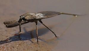 Water Scorpion from Australia