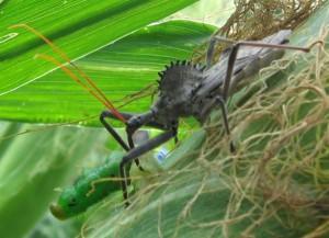 Wheel Bug eats Caterpillar
