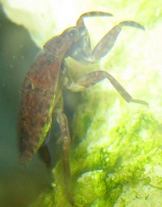 immature Giant Water Bug