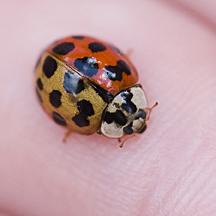 Bicolored Multicolored Asian Ladybird Beetle