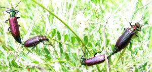 Mating Blister Beetles
