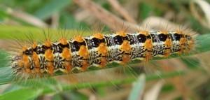 Cattail Caterpillar