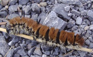 Fingered Dagger Moth Caterpillar