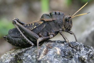 Lubber Grasshopper from Mexico