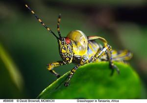 probably Milkweed Locust from Tanzania