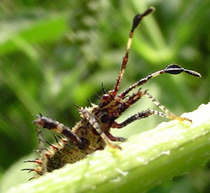 Helmeted Squash Bug Nymph