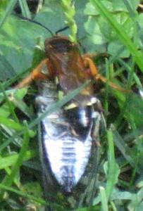 Cicada Killer and Prey