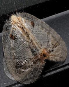 Moth Mimic Lacewing