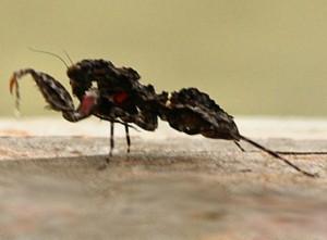 Australian Preying Mantis