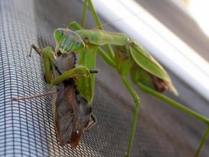 Preying Mantis eats Wheel Bug