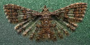Many Plume Moth from Australia