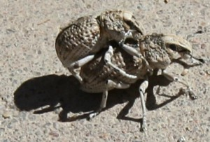 Mating Broad-Nosed Weevils