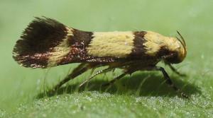 Australian Microlepidopteran