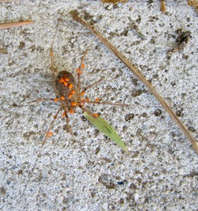 Harvestman with Parasitic Mites