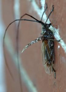 Long Horned Borer Beetle
