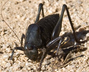 Mormon Cricket eats Grasshopper Roadkill